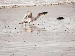 Gulls 6