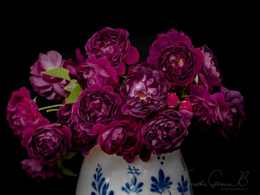 ,Le Rosier Eveque' (Centifolia, Gallica) in a vase against black bacground.