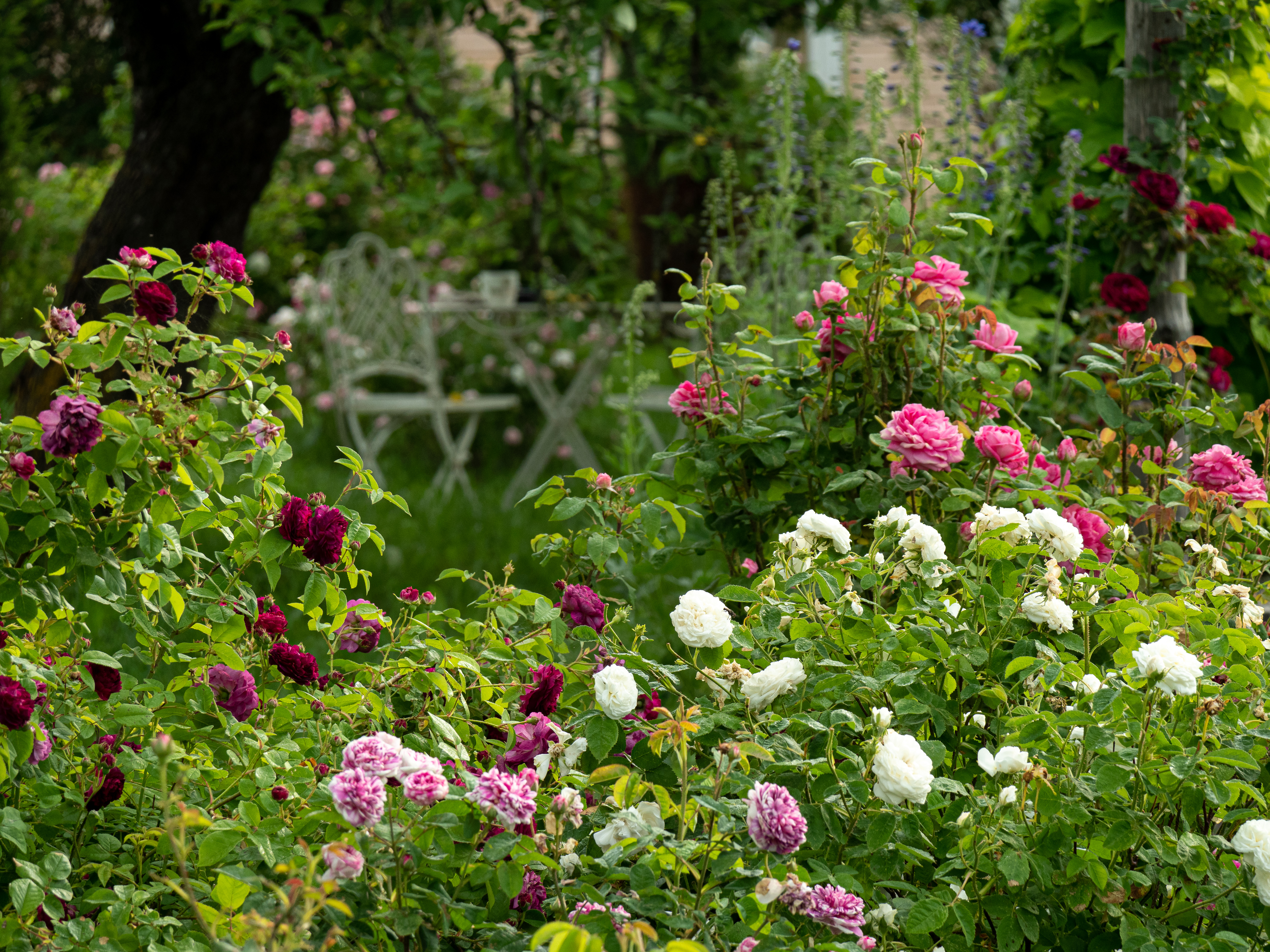 My Rose Garden in July #9