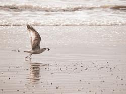 Gulls 8