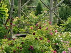 My Rose Garden in July #6
