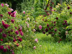 My Rose Garden in July #14