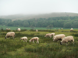 Sheep Out Of the Fog #1