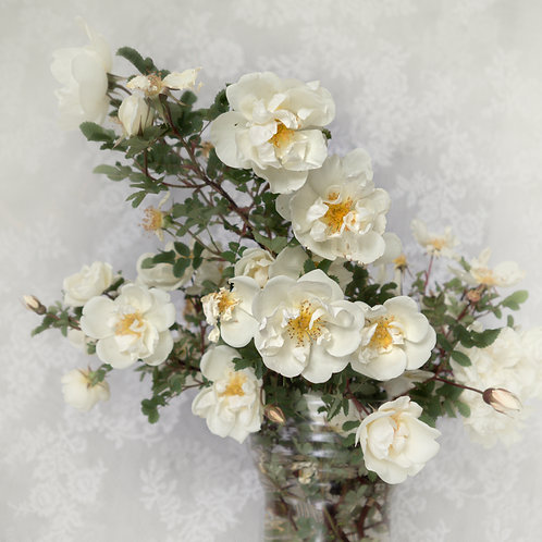 An Elegant  Historic White Rose. A print (square)
