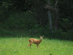 European Roe Deer 2