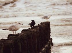 Gulls 14