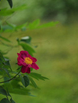 My Rose Garden in July #13