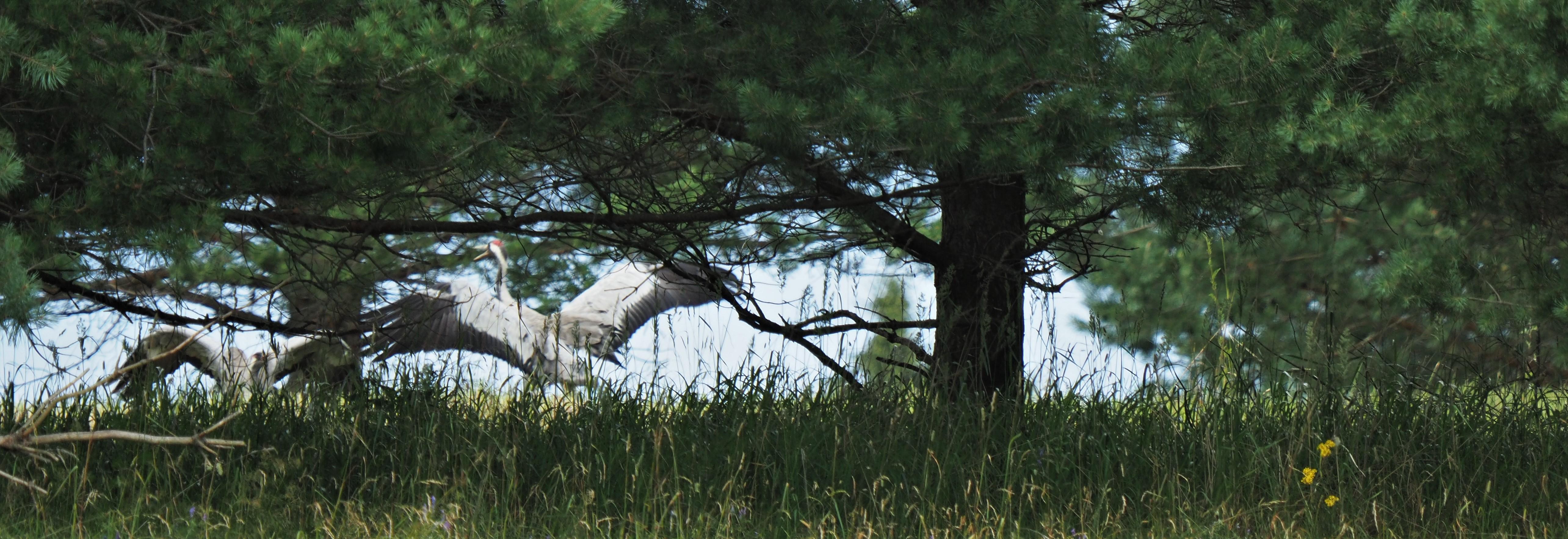 Common Crane 3