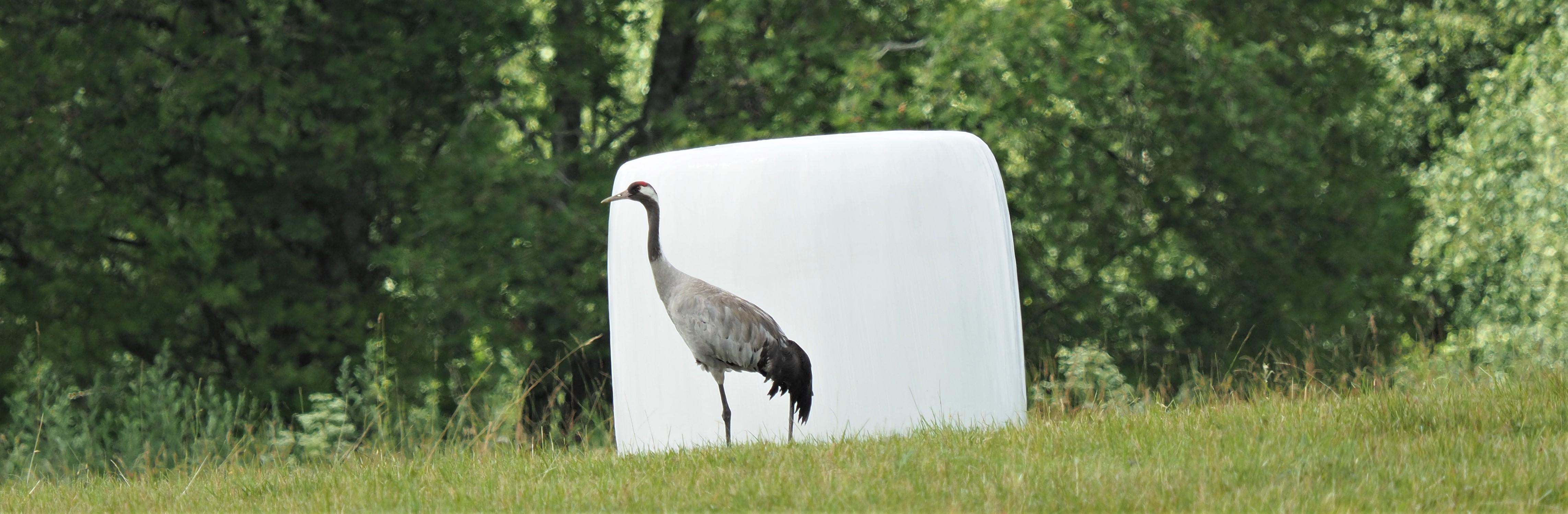 Common Crane 5