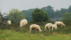 Sheep Out Of the Fog #4