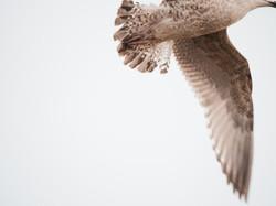 Gulls 15