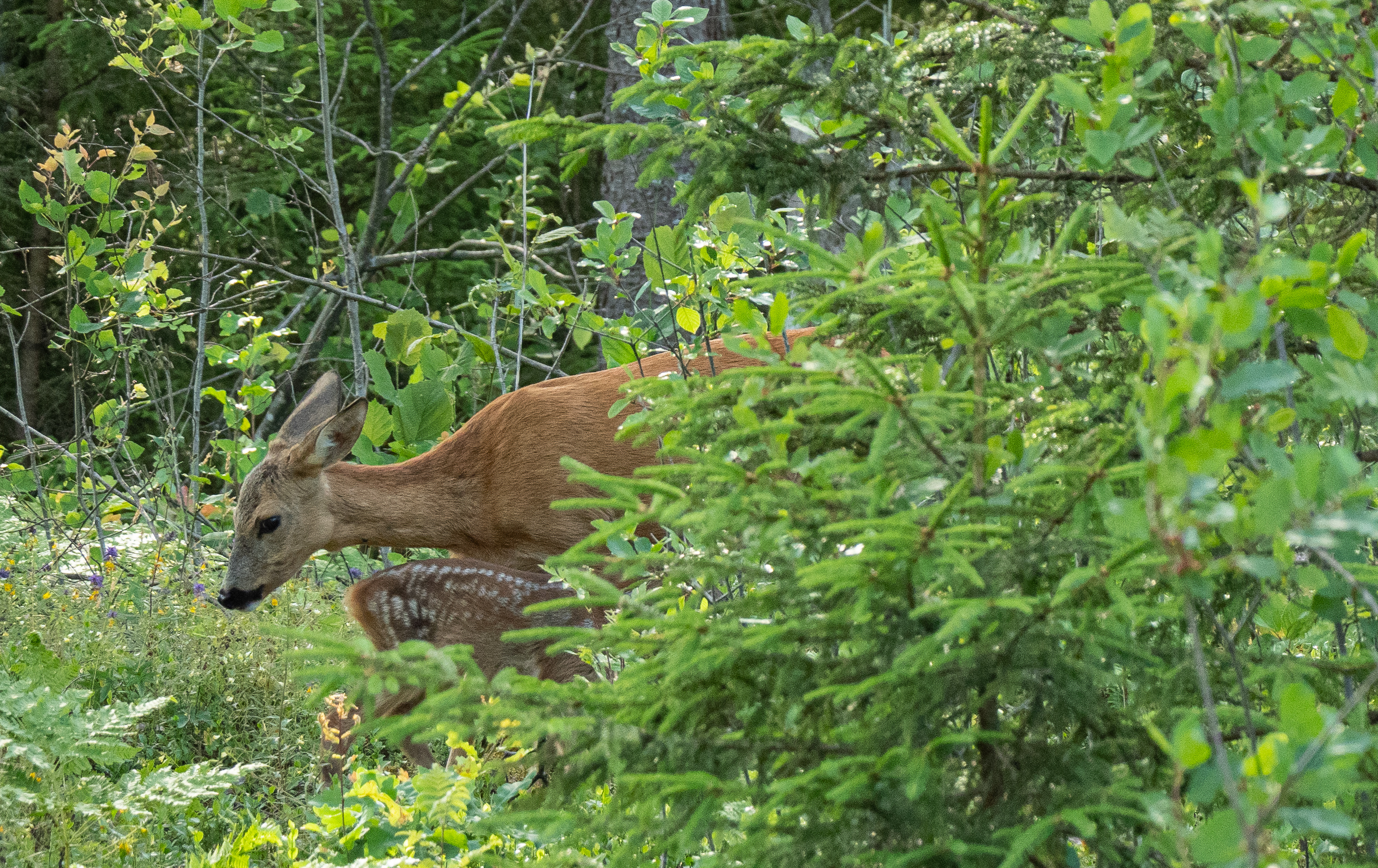 Roe Deer With a Fawn