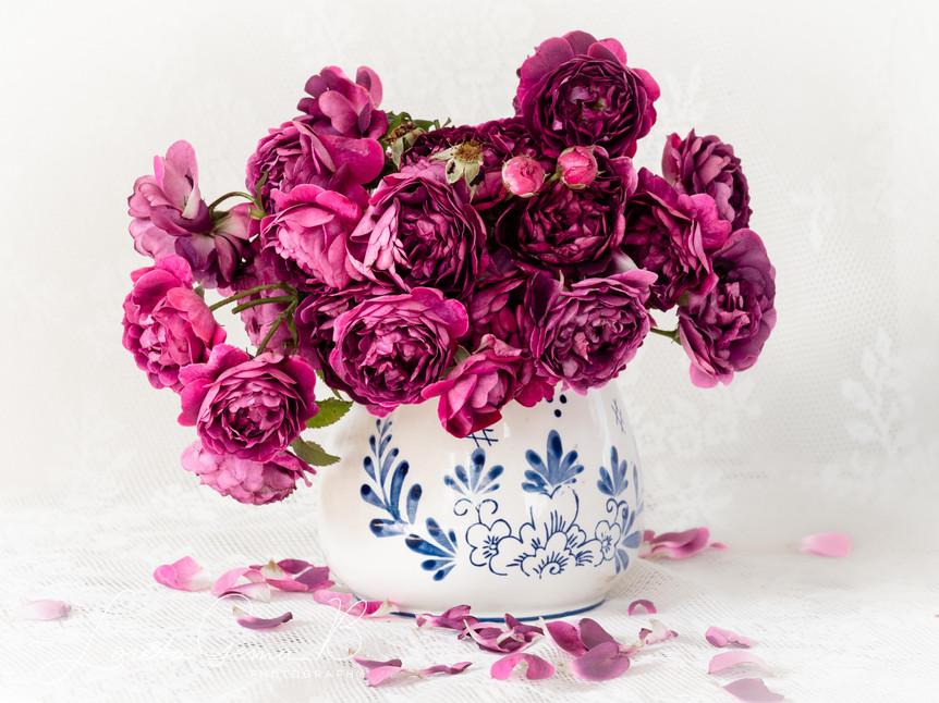 ,Le Rosier Eveque' (Centifolia, Gallica) in a vase against white bacground.