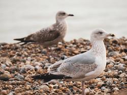 Gulls 17