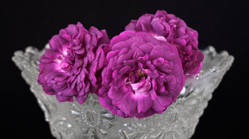 'Hippolyte' (Gallica)  in  a glass vase against black background.