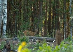 European Roe Deer 1
