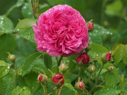 My Rose Garden in July #7