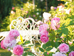 My Rose Garden in July #1