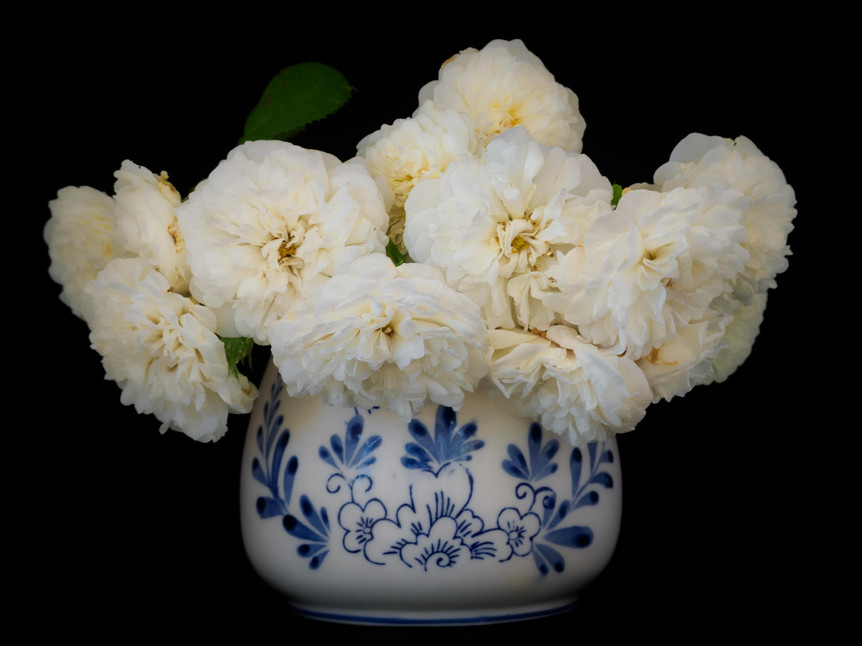'Madame Legras de St. Germain' (Alba) in a vase against black background. Bred by Unknown (before 1848)
