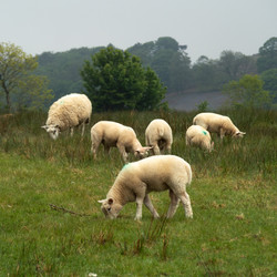 Sheep Out Of the Fog #2