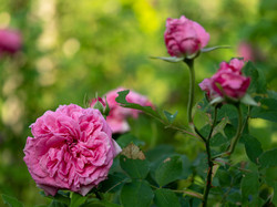 My Rose Garden in July #2
