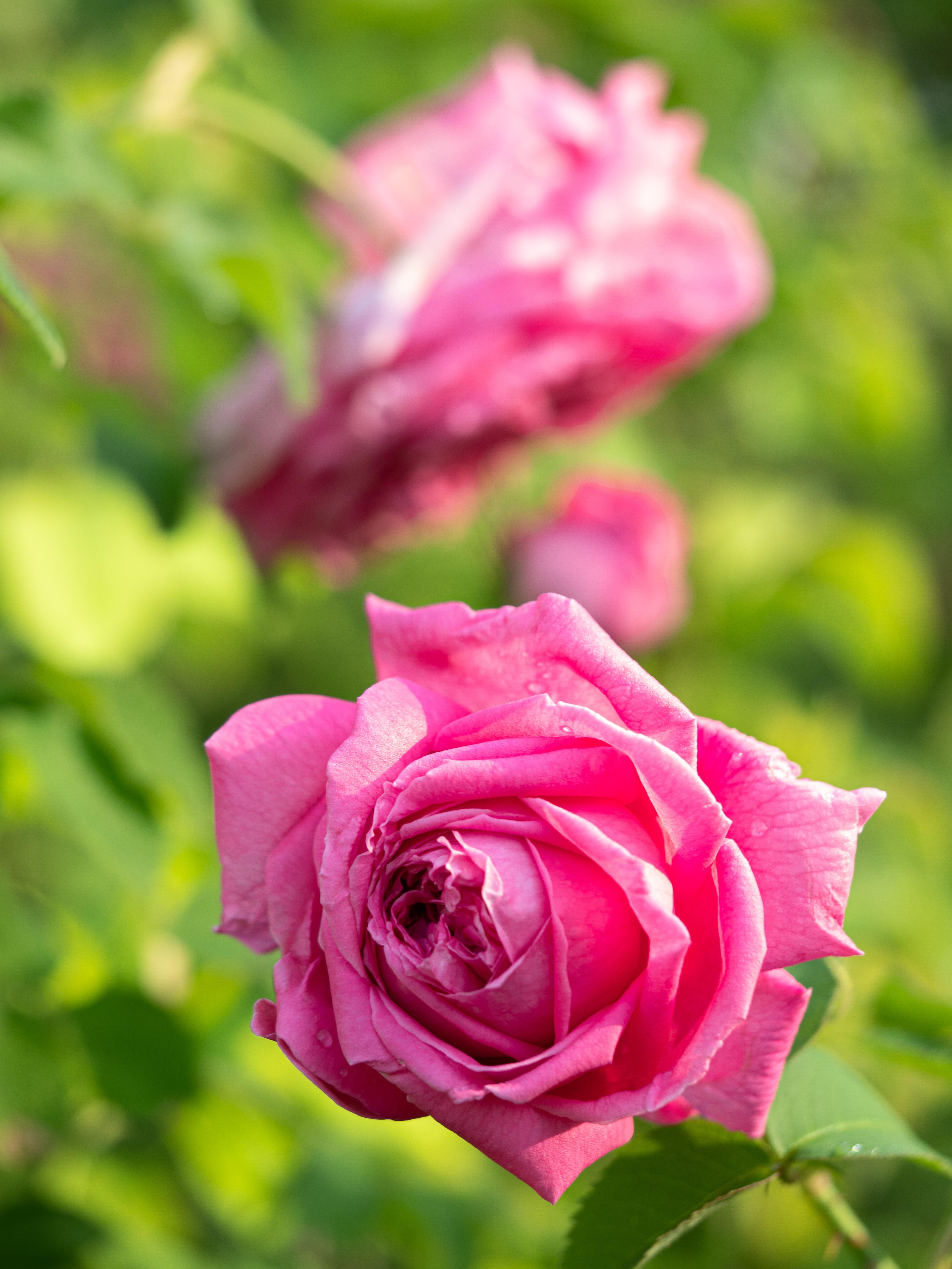 My Rose Garden in July #12