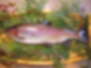 絹姫サーモン.jpg