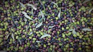 Les huiles d'olive haut de gamme Segermès, nées en 1950, sont disponibles en France