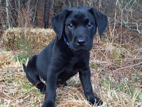 About Labrador Retrievers :