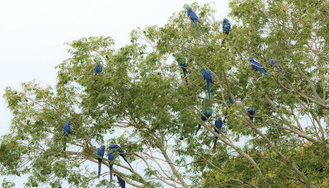 Arara-azul-grande - Hyacinth Macaw - Ano