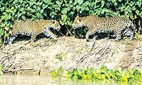 Arab_News_-_Brazil's_Pantanal_needs_ca