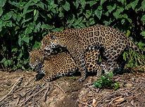Malay Mail - Brazil's Pantanal wetlands.
