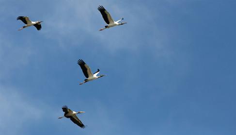 Cabeça-seca_-_Wood_Stork_-_Mycteria_amer