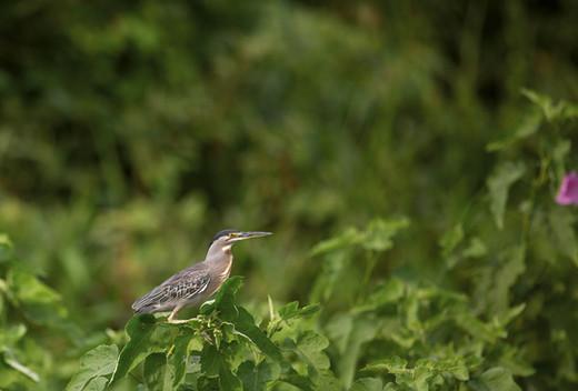 Socozinho - Striated Heron - Butorides s