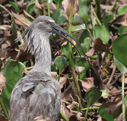 Maçarico-real_-_Plumbeous_Ibis_-_Therist