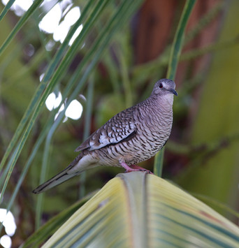 Fogo-apagou - Scaled Dove - Columbina sq