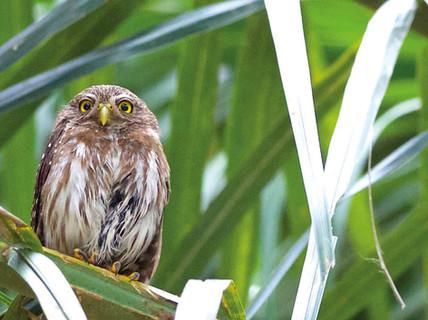 Caburé_-_Ferruginous_Pygmy-Owl_-_Glaucid