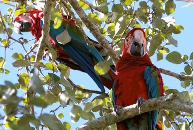 Arara-vermelha-grande - Red-and-green Ma