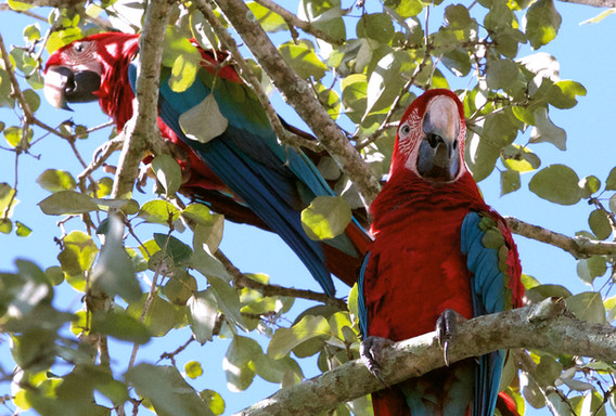 Arara-vermelha-grande - Red-and-green Ma