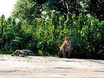 Epoca - Um encontro com o jaguar do Pant