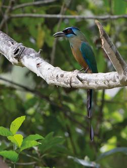 Udu-de-coroa-azul - Blue-crowned Motmot