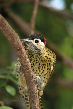 Pica-pau-verde-barrado - Golden-breasted
