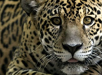 DH Net - Le jaguar.jpg