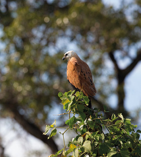 Gavião-belo_-_Black-collared_Hawk_-_Busa