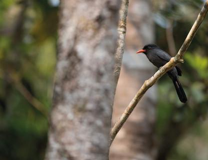 Chora-chuva-preto - Black-fronted Nunbir
