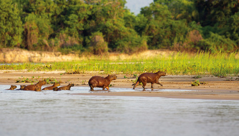 Capivara - Capybara - Hydrochoerus hydro