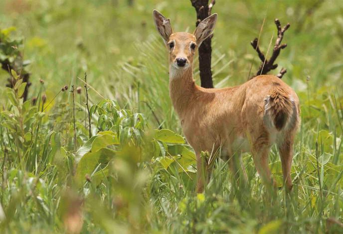 Veado-campeiro - Pampas Deer - Ozotocero