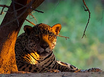 SOS Pantanal - Jaguar-Panthera-onca.jpg
