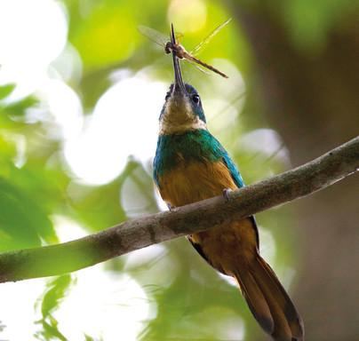Ariramba-de-cauda-ruiva - Rufous-tailed