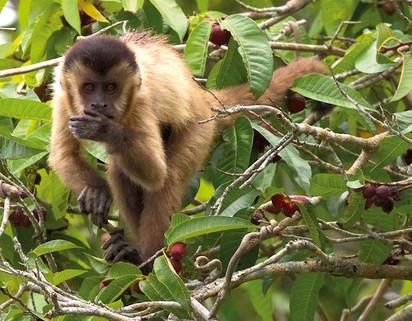 Macaco-prego - Brown Capuchin Monkey - C